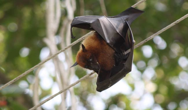 Nipah un virus senza ancora una cura torna a far paura in India