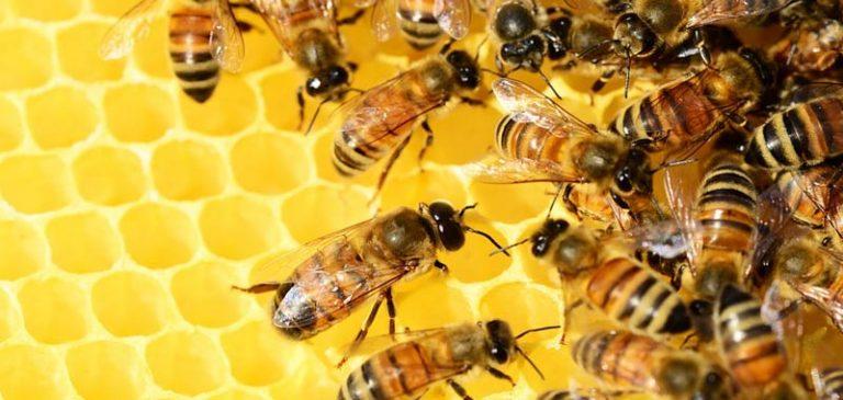 Nell'occhio di una donna trovate 4 api ancora vive