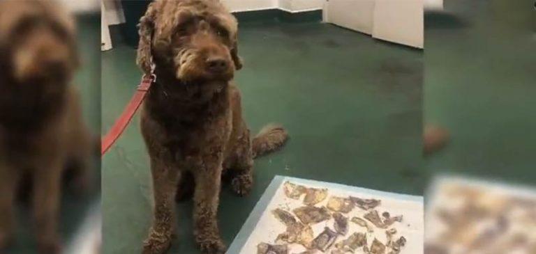 Il cagnolino si mangia 160 sterline in contanti, poi la beffa
