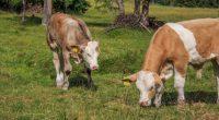 Mucca nasce senza naso e con un occhio viene venerata