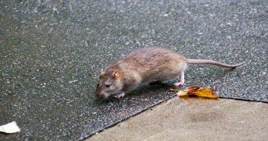 New York e Los Angeles panico per invasione di topi