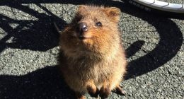 Quokka incredibile animale piu felice al mondo