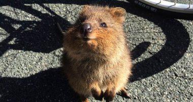 Quokka incredibile animale piu felice al mondo
