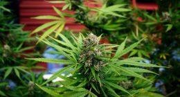 Cannabis Light per la Cassazione non si puo vendere nei negozi