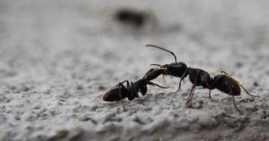 Formiche ecco come tenerle lontane con metodi naturali