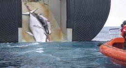 Giappone si tornano a cacciare balene per scopi commerciali