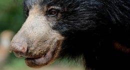 Lento come un bradipo ecco perche si dice cosi