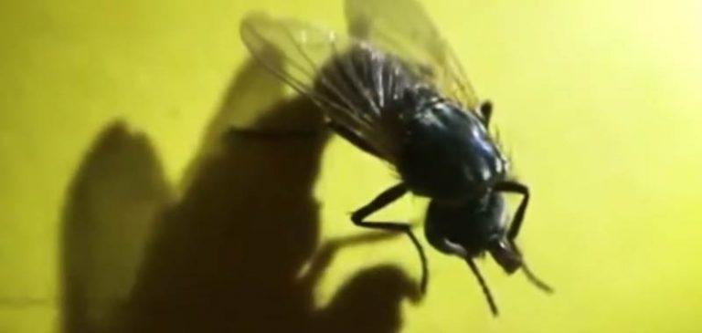 Zombi, anche le mosche senza testa continuano a vivere