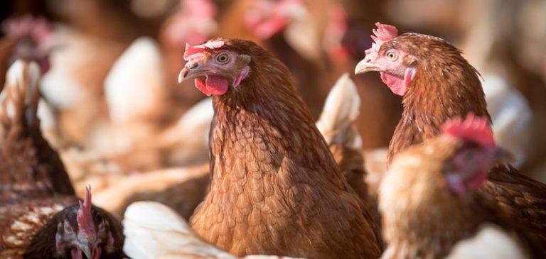 Brescia, è strage di galline per asfissia