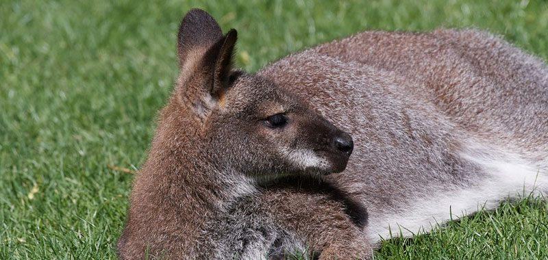 Canguro ecco a cosa serve il marsupio