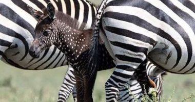 In Kenya nata la zebra a pois