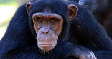 Le scimmie supereranno gli uomini impiantato gene umano