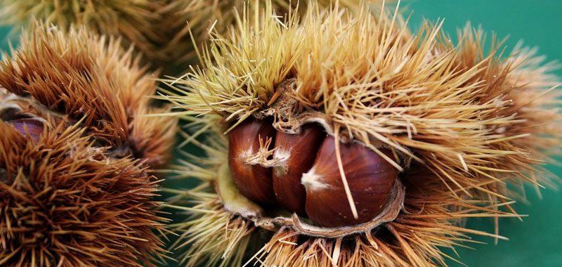 Castagne e marroni ecco cosa li differenzia