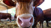 Il mucco una specie di bovino toscano
