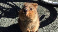Quokka ecco la particolarita di questo marsupiale australiano