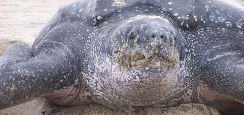 Ravenna pescata rarissimo esemplare di tartaruga liuto