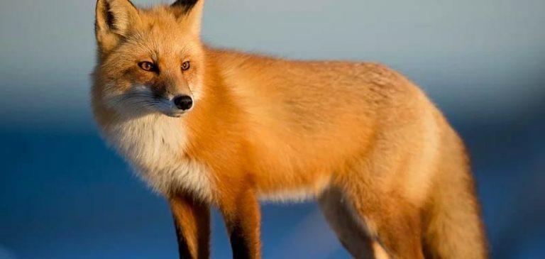 Immagini shock: Regno Unito, una caccia alla volpe spietata