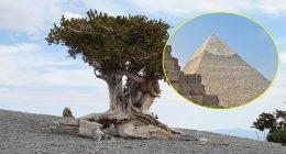 Scoperto albero piu vecchio del mondo piu delle Piramidi