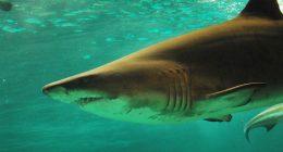 Turista disperso trovano la sua mano in uno squalo tigre