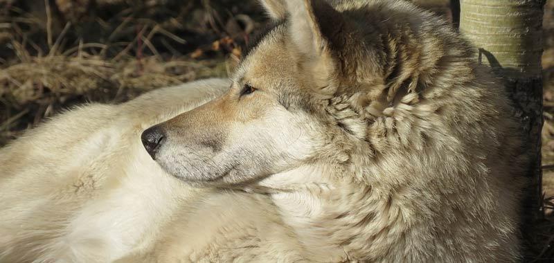 Wolf-dog un bellissimo ibrido illegale in Italia