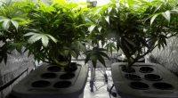 La vendita della cannabis light resta illegale