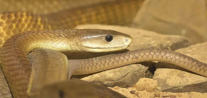 Mamba Nero serpente tanto veloce quanto velenoso