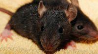 Sapete che ratto e topo non sono la stessa cosa