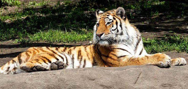 Sbranata da una tigre allo zoo, la gabbia era aperta