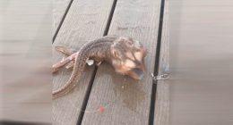 Pescatore cattura misterioso pesce con tre zampe