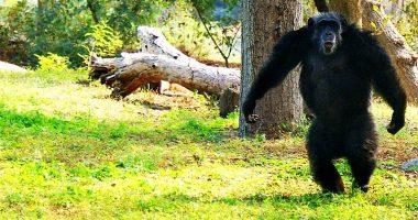 ascesa delle scimmie si sta compiendo come nel film