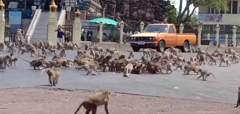Coronavirus video virale di scimmie che impazziscono