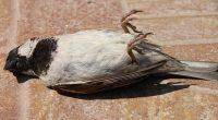 Mistero uccelli cadono al suolo morti in tutto il mondo