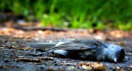 Continuano a morire gli uccelli in tutto il mondo