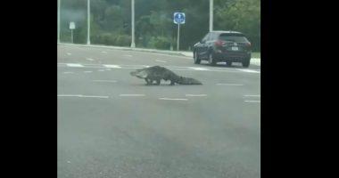 Florida Alligatore gira indisturbato in citta durante la quarantena