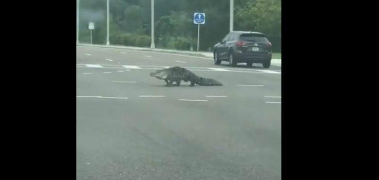Florida: Alligatore gira indisturbato in città durante la quarantena