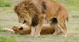 Quale animale africano piu pericoloso