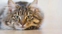 Veterinari britannici presto test coronavirus per gatti