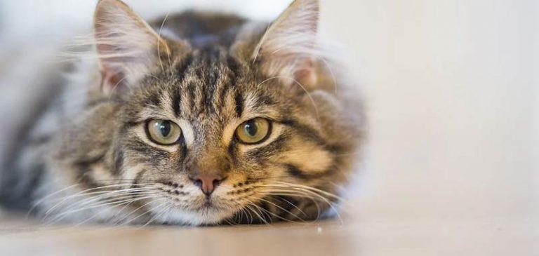 Veterinari britannici: presto test coronavirus per gatti