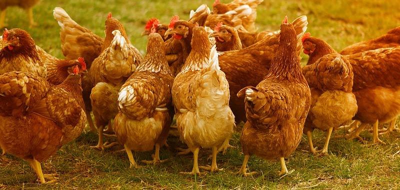 Ceppo modificato di aviaria fara sembrare il covid uno scherzo