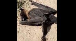India Centinaia di pipistrelli cadono morti al suolo