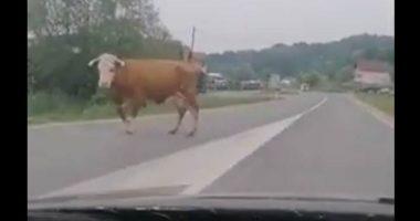 Perde la mucca per strada il video diventa virale