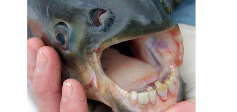 Pesci con denti umani catturati in Russia