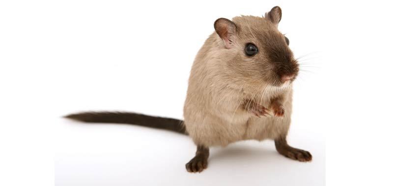 Ratto e topo non sono lo stesso animale