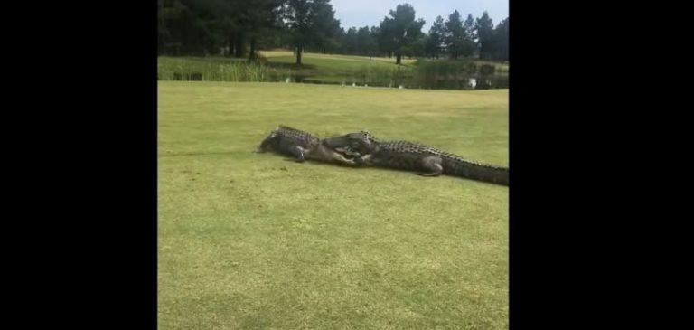 Va a giocare a golf ma sul campo trova una sorpresa