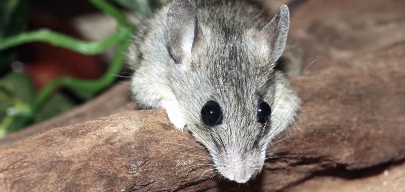 Australia Dopo la pandemia invasione di topi inferociti