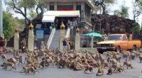 8000 scimmie conquistano una citta della Thailandia