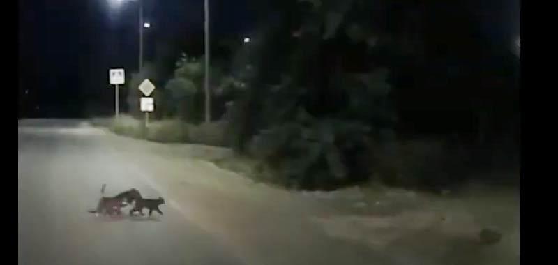 I due gattini che aiutano il cane disabile