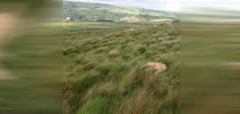 Inghilterra, mistero su vitello tagliato chirurgicamente
