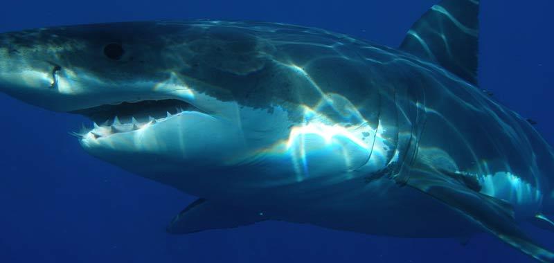 Padre e figlio attaccati da uno squalo