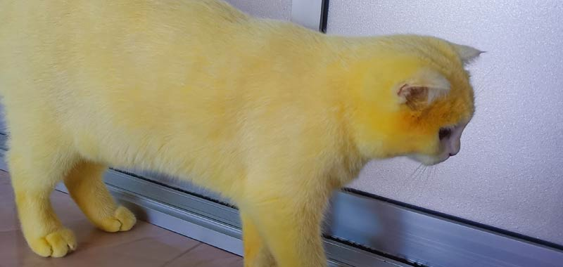 Tinge accidentalmente il gatto di giallo e diventa virale
